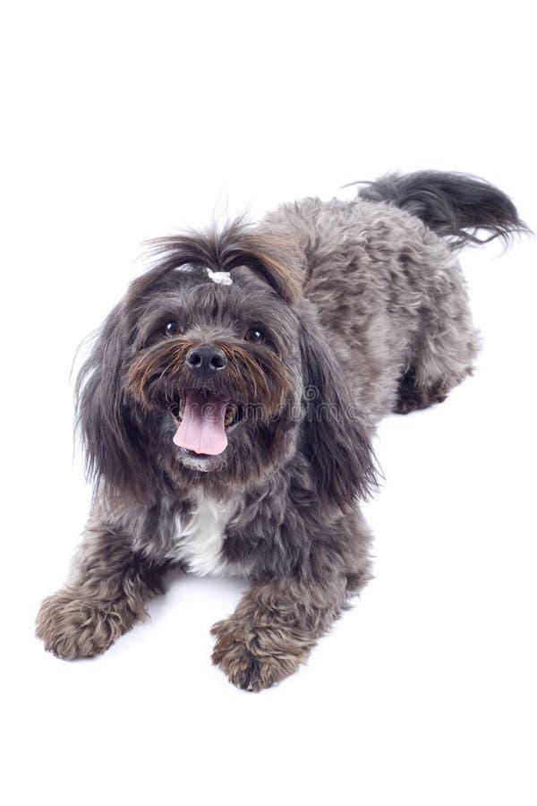Bichon Dog Royalty Free Stock Image