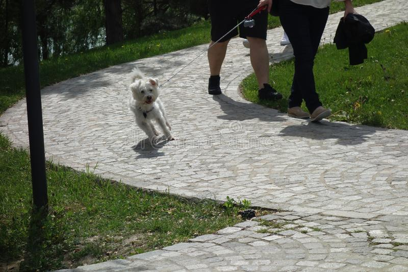 Bichon dog walking on leash in park royalty free stock images