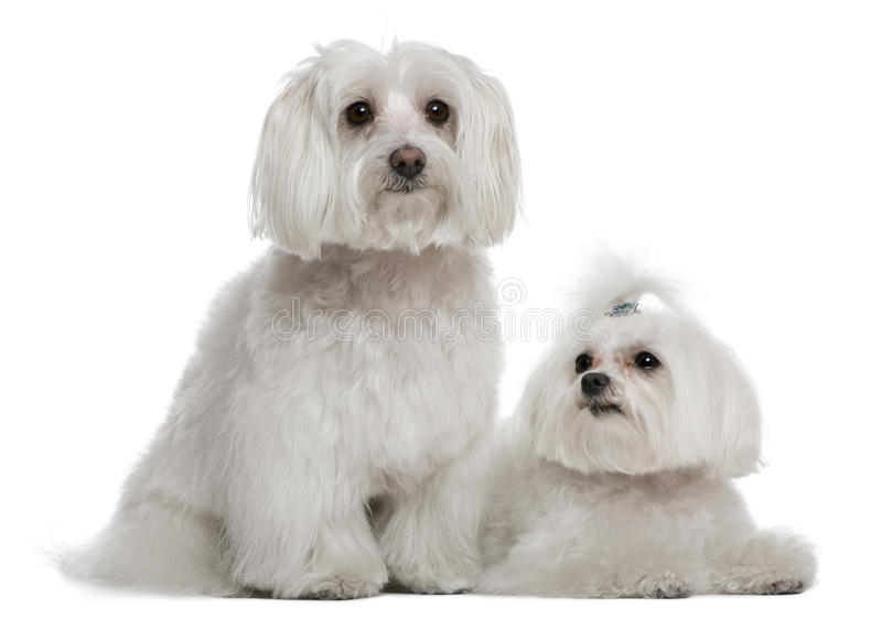 Download Bichon frisé and a Maltese stock photo. Image of length - 15358128