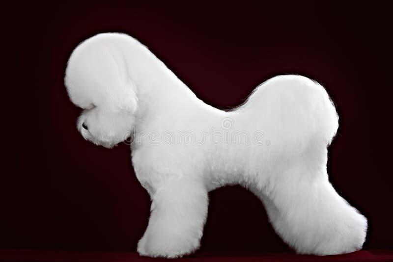 Bichon Frise狗在一个黑暗的演播室 免版税图库摄影
