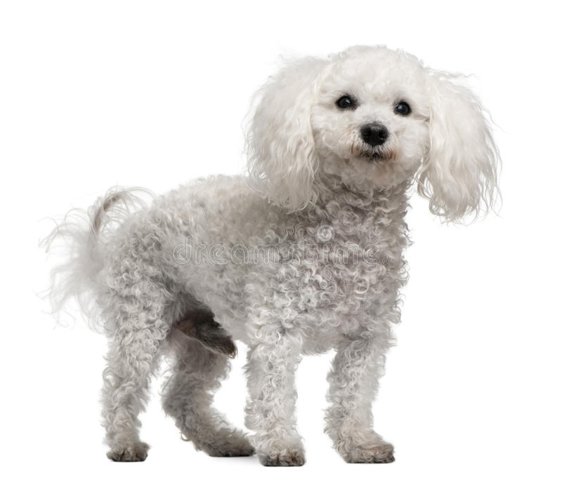 Bichon frise, 12 years old, standing. In front of white background royalty free stock photo