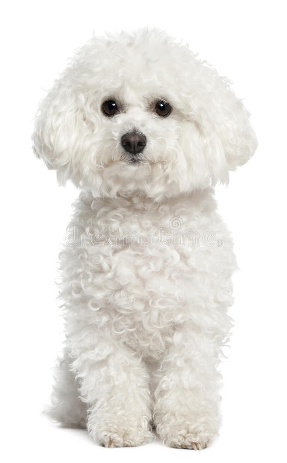 Bichon frise, 5 years old, sitting stock photography