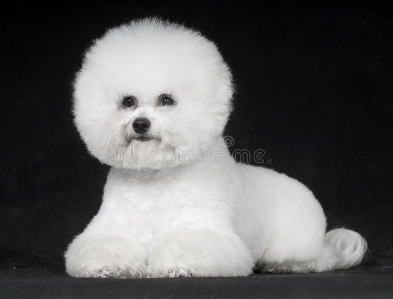 Download Bichon Frise stock image. Image of 30cm, france, compared - 6787459