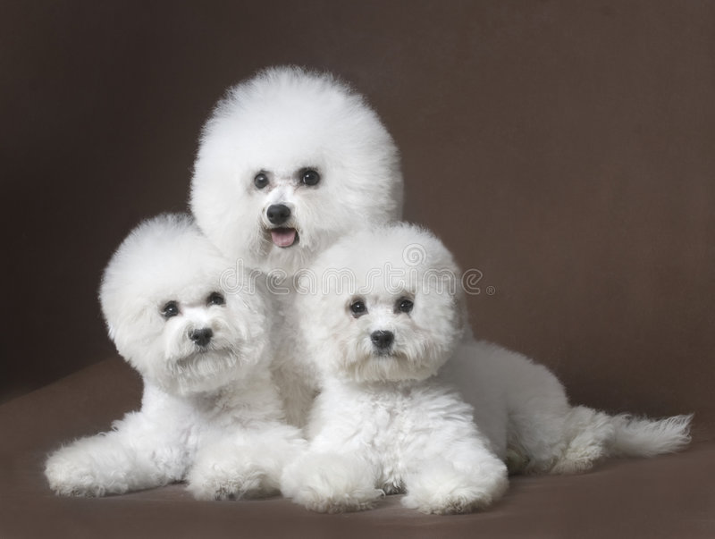 Download Bichon Frise Royalty Free Stock Photography - Image: 6787487