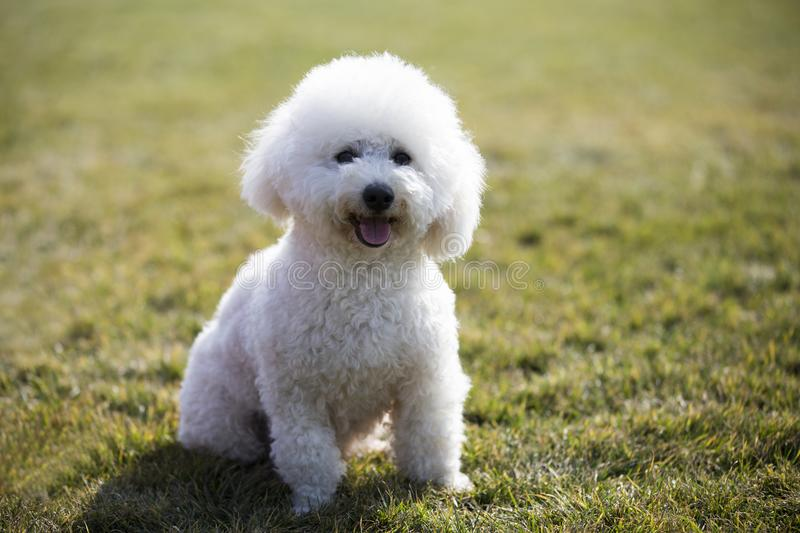 Bichon frise. French: Bichon Fris, meaning `white curly pet puppies` native to the Mediterranean region, is a small dog breeds. It`s a common pet that looks royalty free stock photos