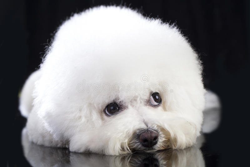 Bichon Frise dog. Lying on a black background stock image