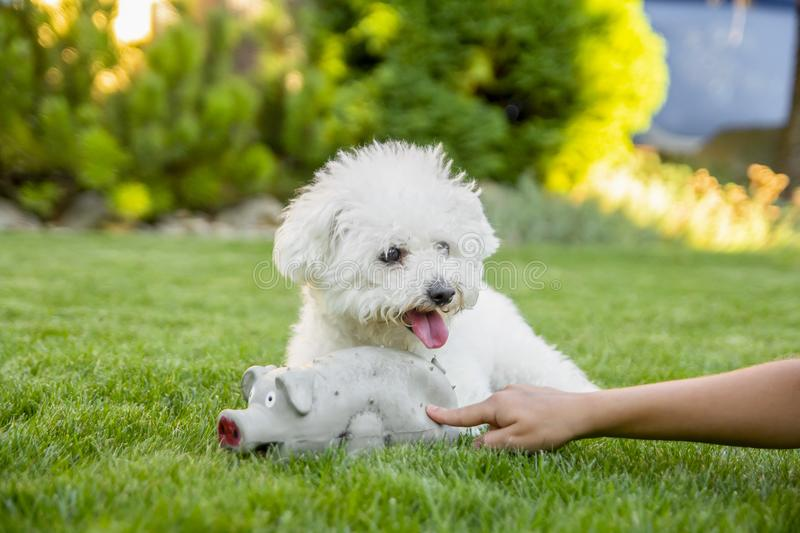 Bichon Frise dog lying on the grass with rubber toy royalty free stock images