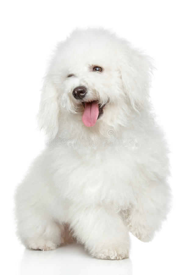 Bichon-Frise dog portrait. Bichon Frise posing on a white background stock photo