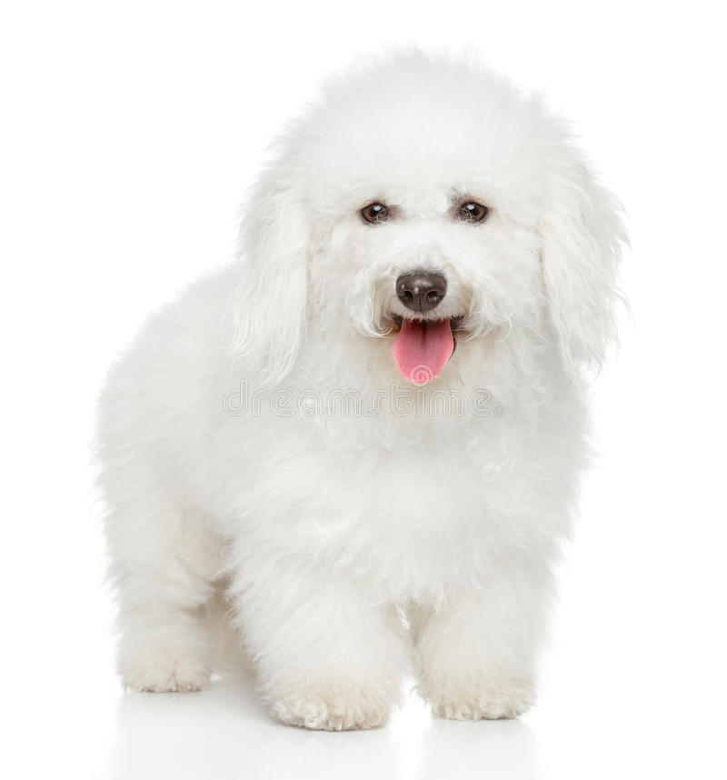 Bichon Frise dog portrait. Bichon Frise dog on a white background royalty free stock photo