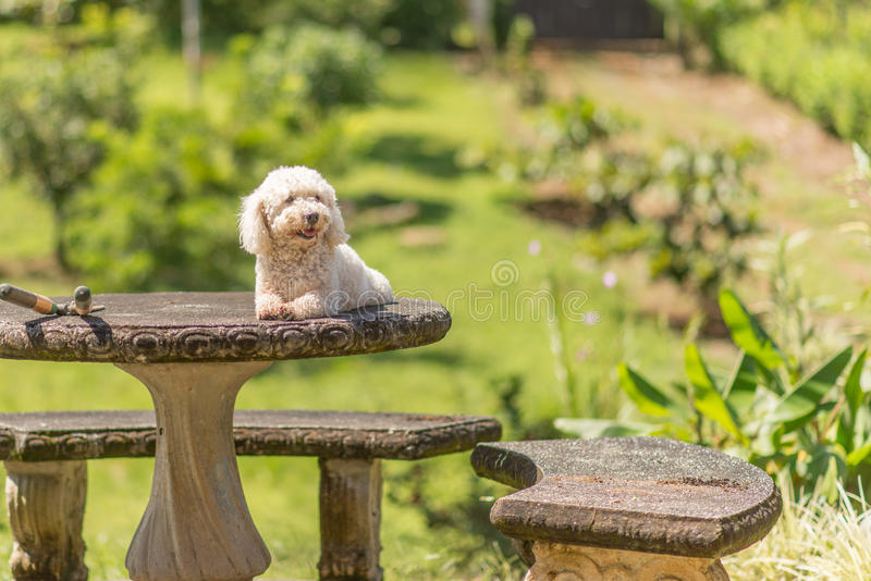 Bichon Frise dog. Resting on a concrete table stock photos