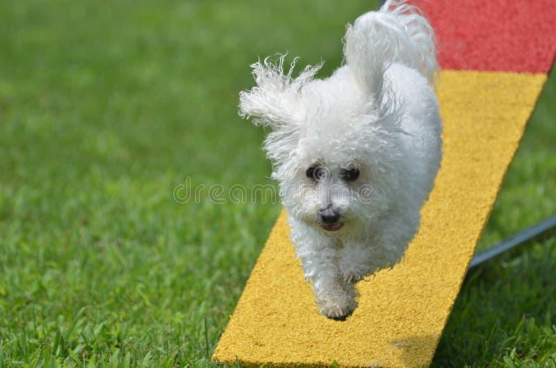 Bichon Frise en un ensayo de la agilidad del perro fotografía de archivo
