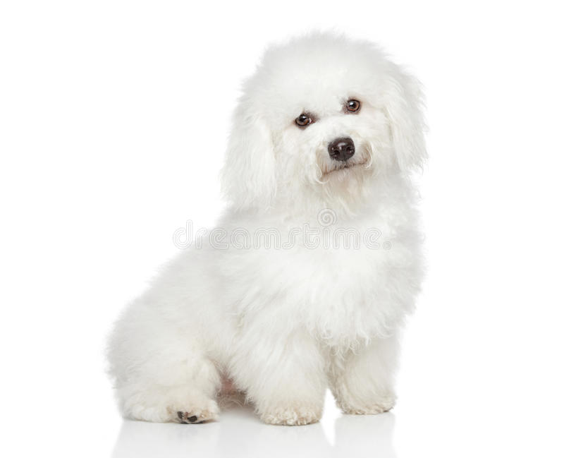 Bichon frise Hund lizenzfreies stockfoto
