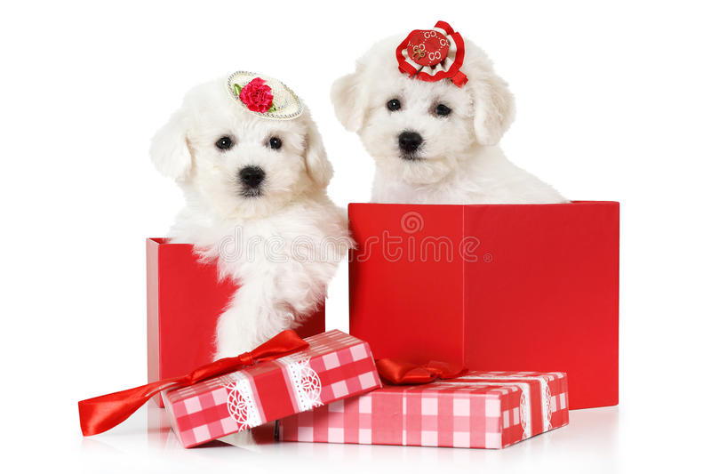 Bichon Frise puppies in a gift box stock photography