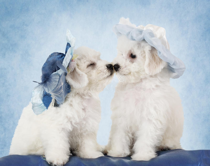 Bichon Frise puppies in hats stock image