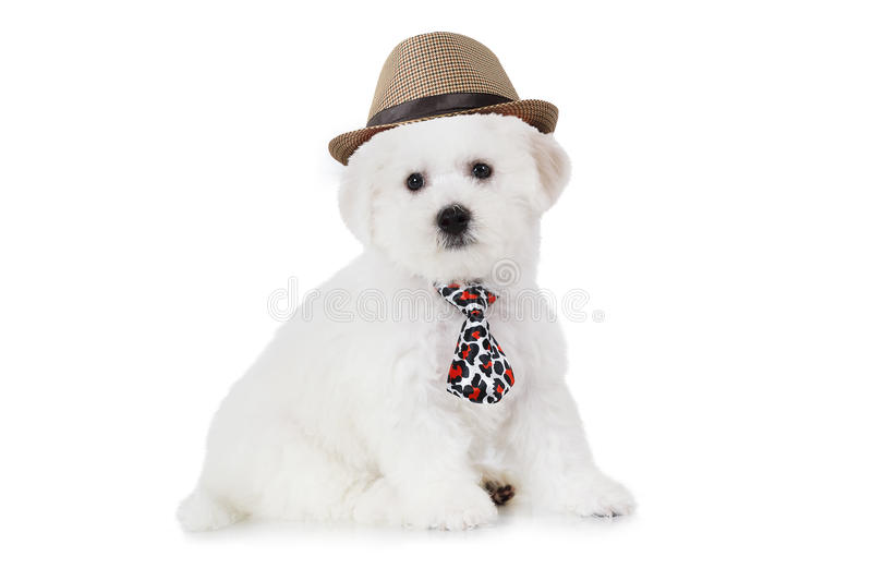 Bichon Frise puppy in a hat royalty free stock photos