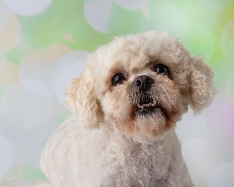 Bichon Frise Shih Tzu Mix Portrait auf einem bunten Hintergrund-Gesicht lizenzfreie stockfotos