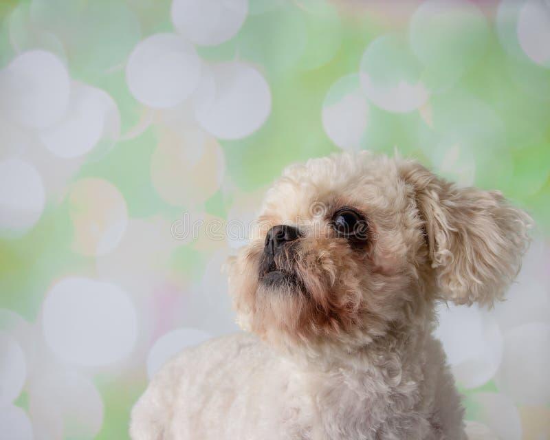 Bichon Frise Shih Tzu Mix Portrait on a Colorful Background Face royalty free stock photo