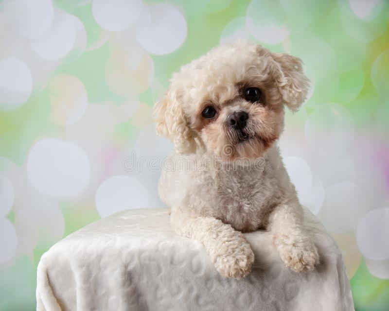 Bichon Frise Shih Tzu Mix Portrait on a Colorful Background Lying Down stock images