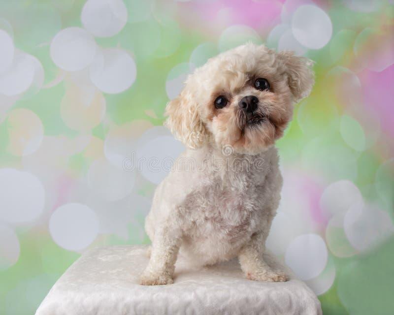Bichon Frise Shih Tzu Mix Portrait on a Colorful Background Sitting royalty free stock photo