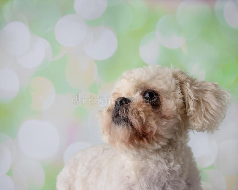 Bichon Frise Shih Tzu Mix Portrait på en färgrik bakgrundsframsida royaltyfri foto