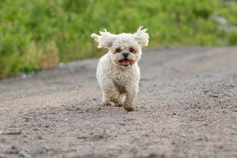 Bichon Frise Shih Tzu Mix Running Outside in de Zomer stock afbeeldingen