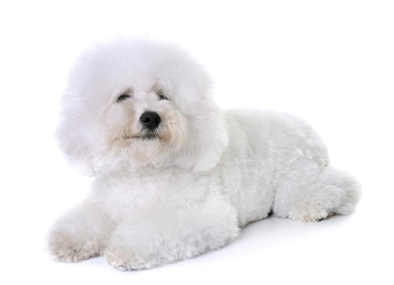 Bichon frise in studio. Bichon frise in front of white background royalty free stock photos