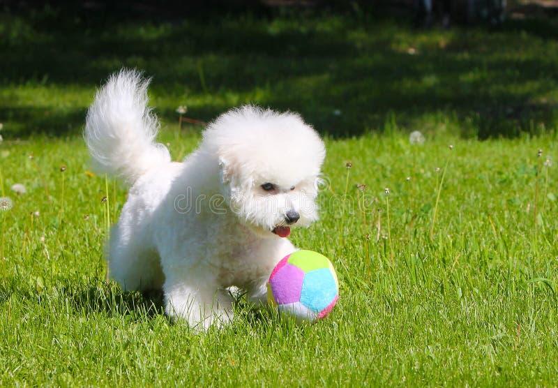 Bichon Frize spelar med en boll på den gröna gräsmattan royaltyfri fotografi