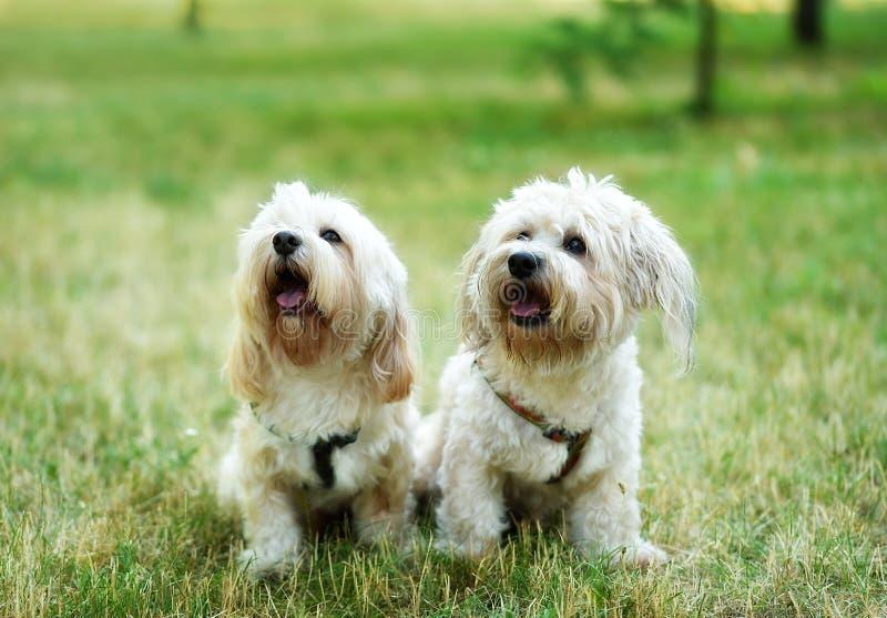 Bichon geen den bolognese hunden in fotografering för bildbyråer