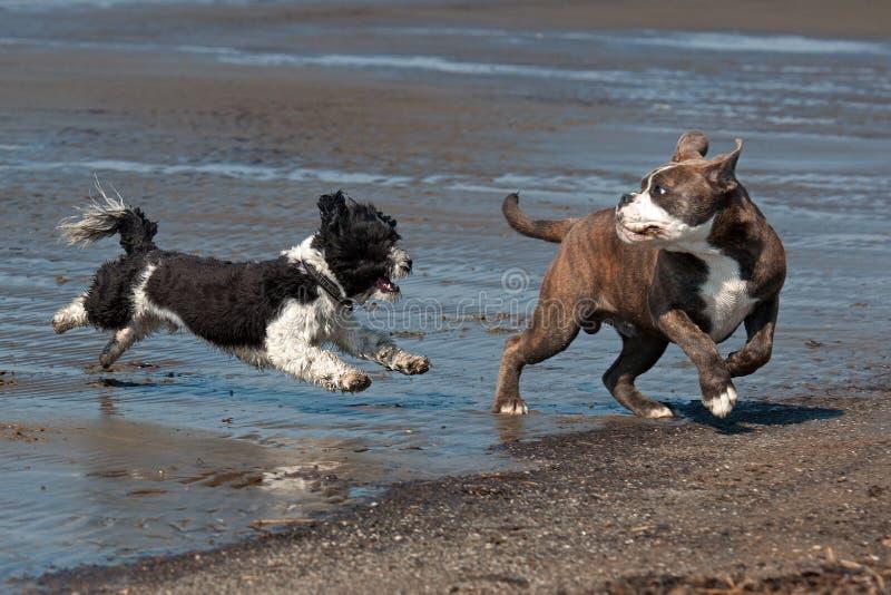 Bichon Havana spielt mit einer Welpe Bulldogge stockfotografie
