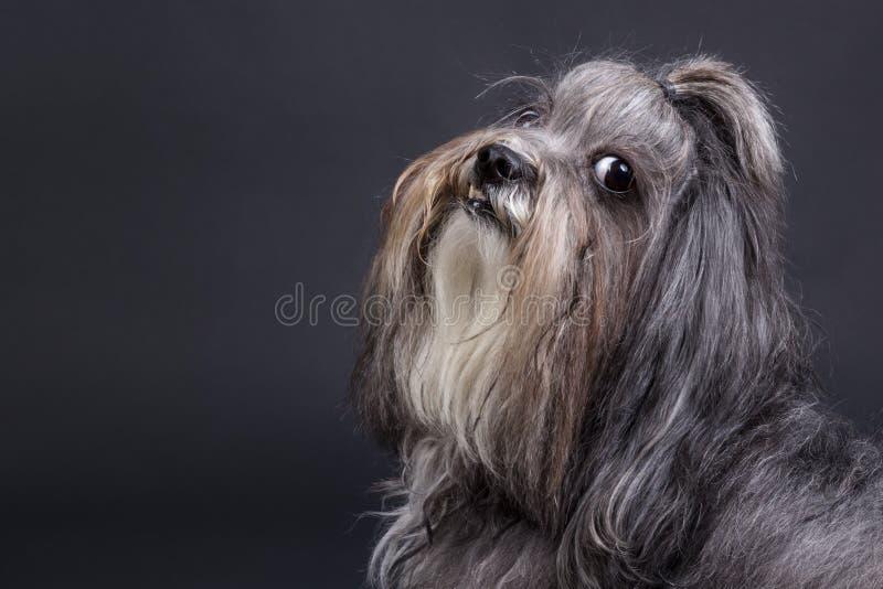 Bichon havanese hond royalty-vrije stock foto's