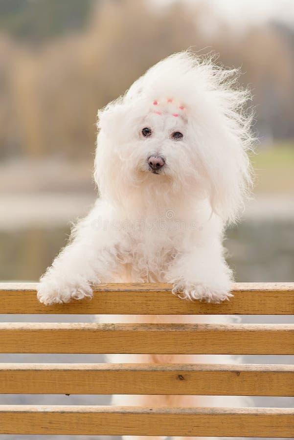 Bichon havanese hond op banch stock foto's