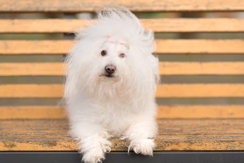 Bichon havanese hond op banch stock afbeelding