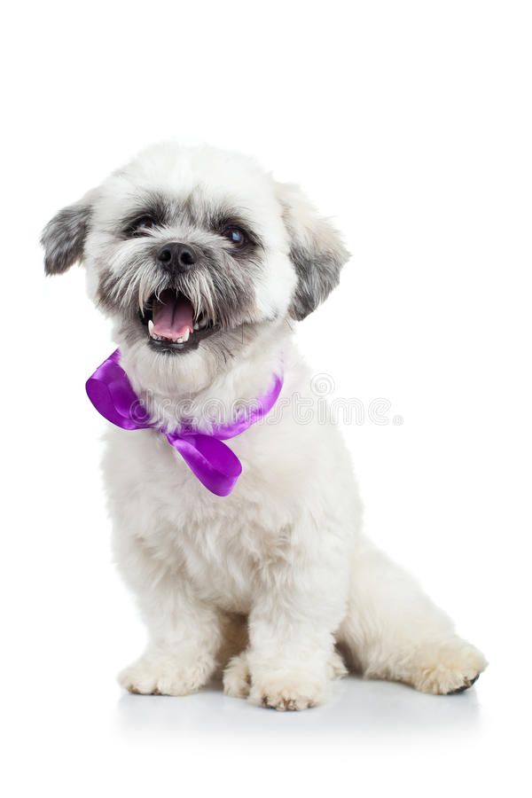 Bichon Havanese Puppy Wearing A Purple Ribbon Stock Image