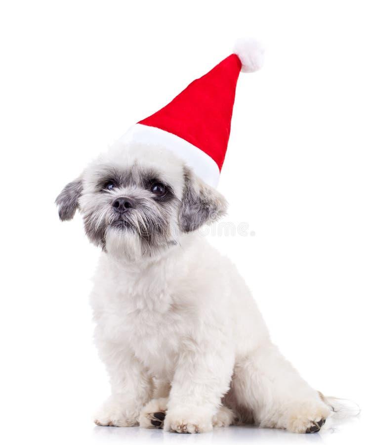 Bichon messo Santa fotografia stock libera da diritti
