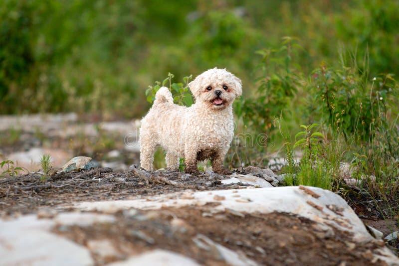 Bichon Shih慈济混合狗画象户外在夏天 库存图片