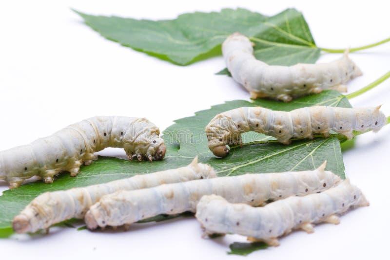 Bichos-da-seda que comem as folhas do mulberry fotos de stock royalty free