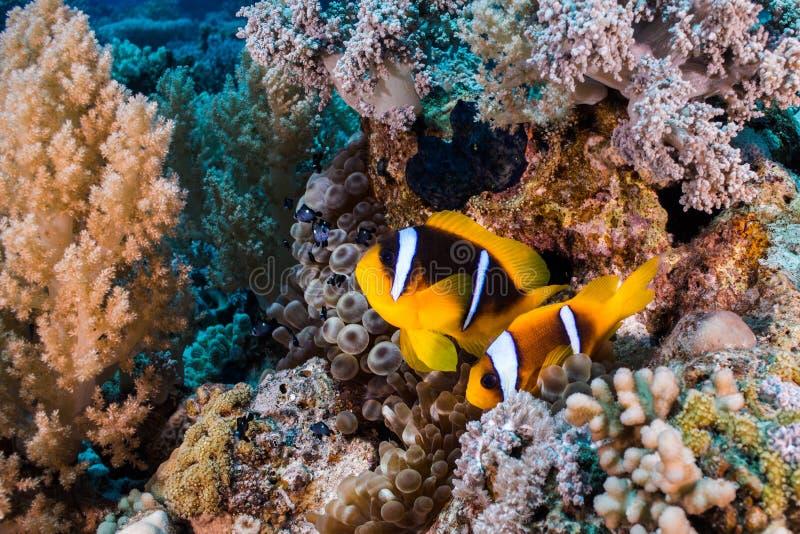 Bicinctus Amphiprion zwei anemonefish des Roten Meers lizenzfreie stockfotografie