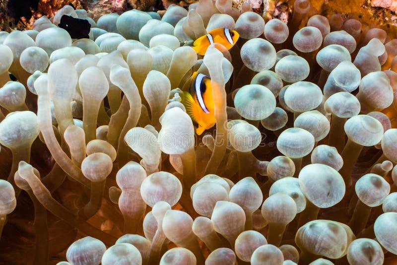 Bicinctus Amphiprion zwei anemonefish des Roten Meers in einer Brustwarzenanemone lizenzfreie stockfotos