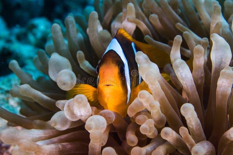 Bicinctus del Amphiprion di anemonefish del Mar Rosso in un anemone della bolla fotografia stock libera da diritti