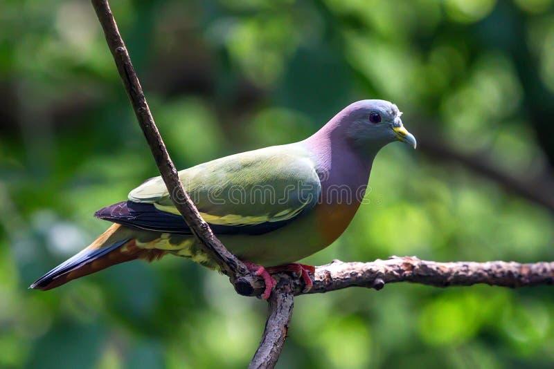 Bicinctus verde anaranjado-breasted de la paloma o de Treron imagenes de archivo