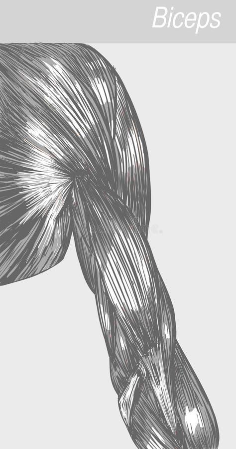 Bicipite di anatomia in bianco e nero illustrazione di stock