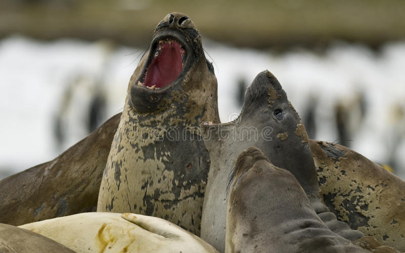 Download Bickering Elephant Seals stock image. Image of family - 12010653