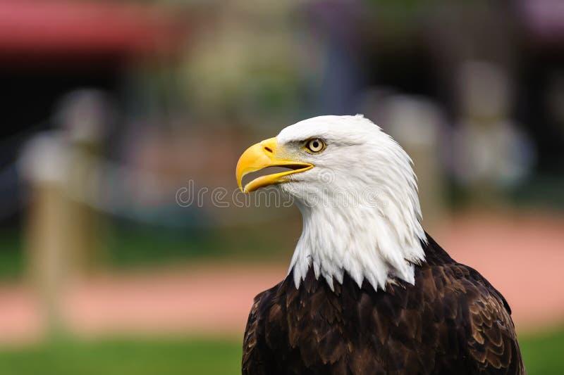 Bico do perfil da águia americana aberto fotos de stock
