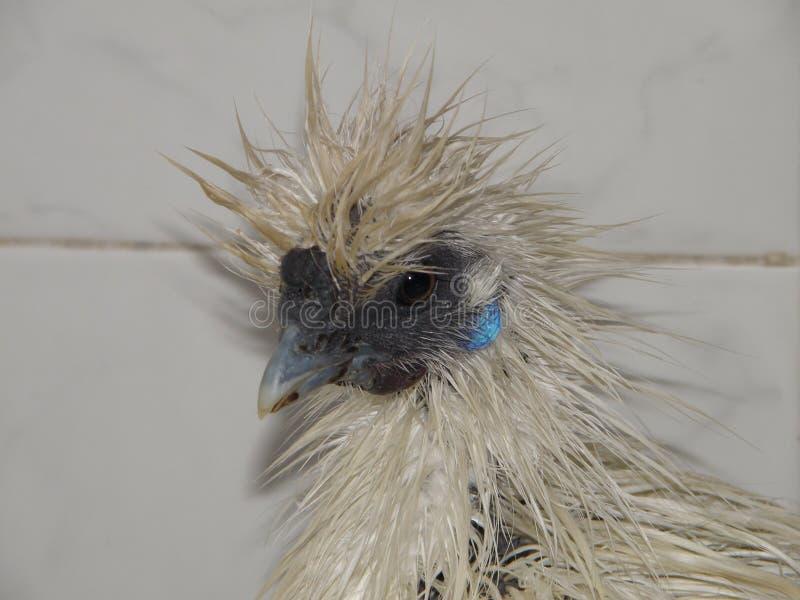 Bicolor курица стоковая фотография rf