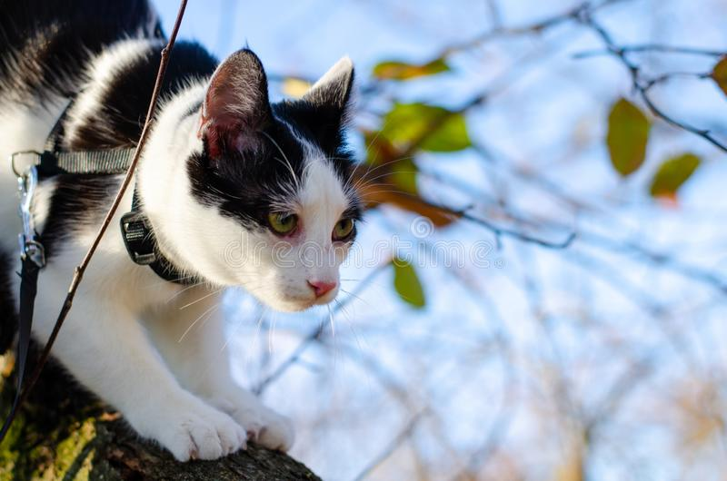 Bicolor cat climbed in a tree and haunting birds. Bicolor cat with green eyes climbed in a tree and looking after birds royalty free stock photography