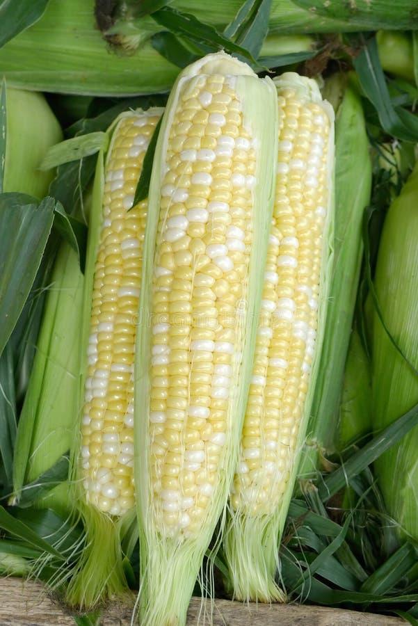 Free Bicolor Ears Of Sweet Corn Royalty Free Stock Image - 20594196