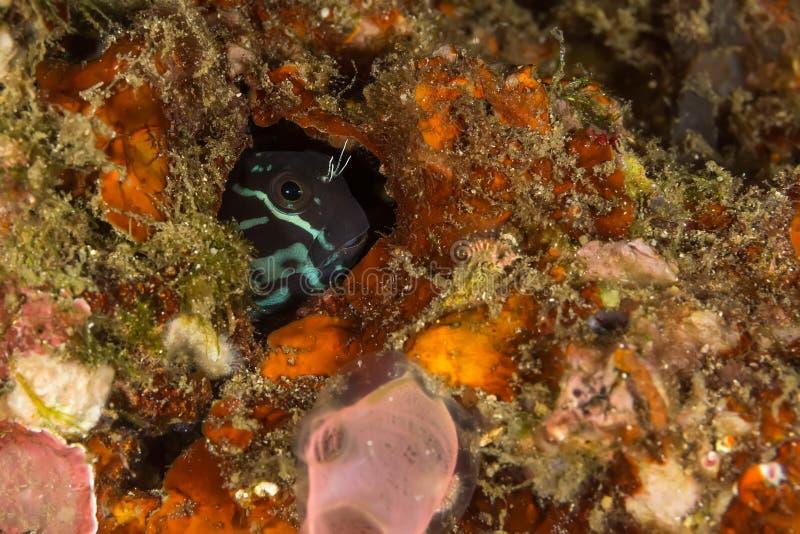 bicolor ecsenius blenny стоковое изображение rf