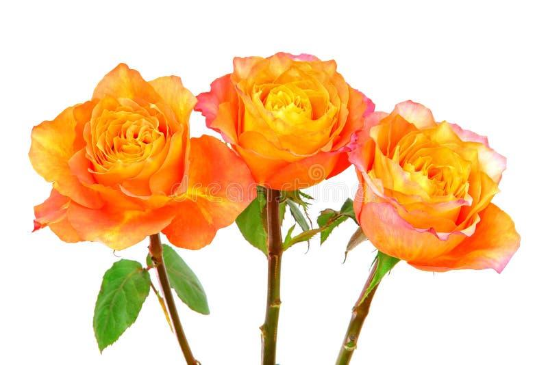Bicolor hybrydowe róże karaibów wyizolowane na białym tle zdjęcie royalty free