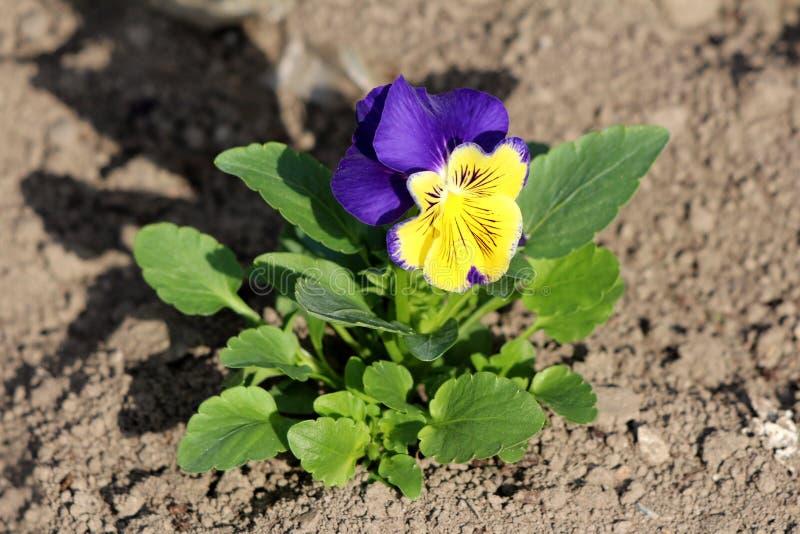 Bicolor lös pensé eller tricolor liten lös blomma för altfiol med mörka - blåa och gula kronblad som omges med mörkt - gröna sido arkivfoton