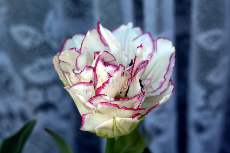 Bicolor large tulip flower head with white petals and purple edges planted in flower pot on windowsill stock photos